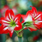 Alliumzwiebeln im Frühjahr